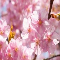 Những địa điểm ngắm hoa anh đào không thể bỏ lỡ khi tới Nhật Bản